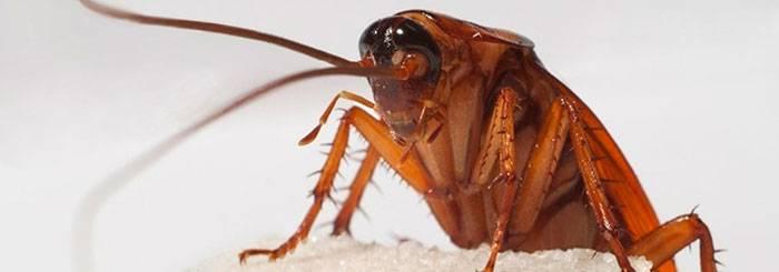 Откуда берутся тараканы и сколько живут