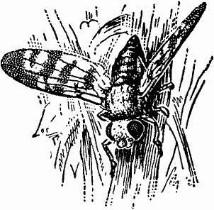 Капустная муха: кому вершки, а кому корешки