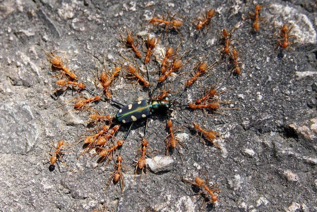 Садовые черные муравьи на участке: как избавиться, вред и польза