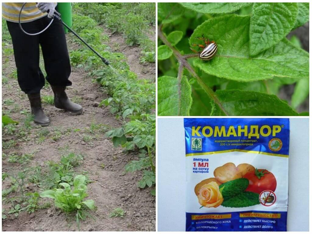 Эффективное средство от колорадского жука командор: инструкция по применению