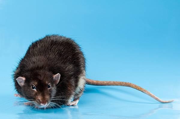 5 способов поймать мышь без мышеловки