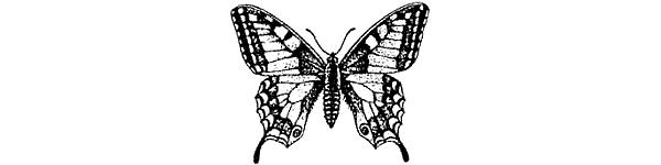 Лептура четырехполосая — частый гость цветущих полян