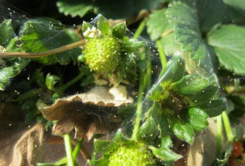 Чем обработать клубнику во время цветения