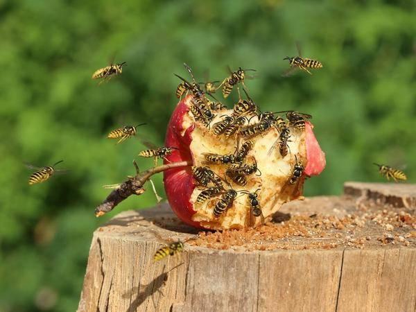 Как избавиться от ос и уничтожить осиные гнёзда, или ночной рейд по крылатым «соседям»