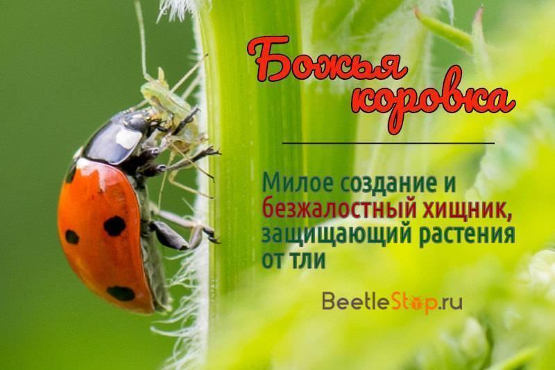 Жуки в саду: как отличить полезных насекомых и как бороться с вредными