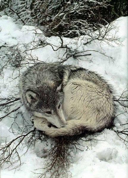 Паук волк