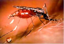 Как выглядит и что делать при укусе малярийного комара
