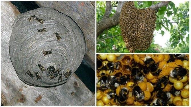 Чем отличается пчела от осы