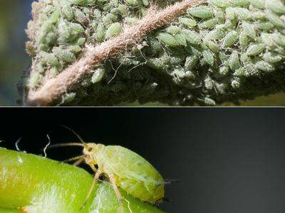 Как бороться с тлей на яблоне
