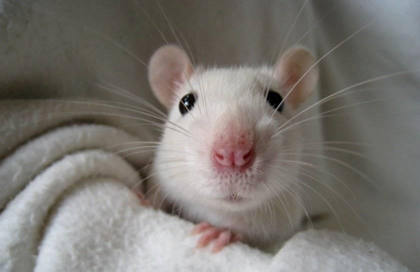 Сколько лет живут крысы