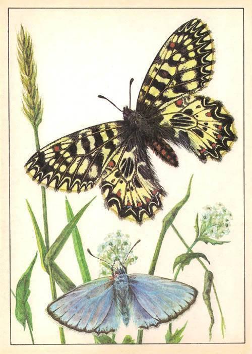 Биологическое значение окраски бабочки медведицы. бабочка медведица госпожа – летнее чудо у ручья. американская белая бабочка
