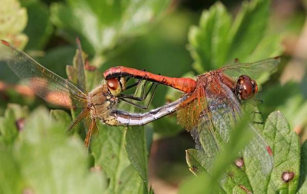Водные насекомые