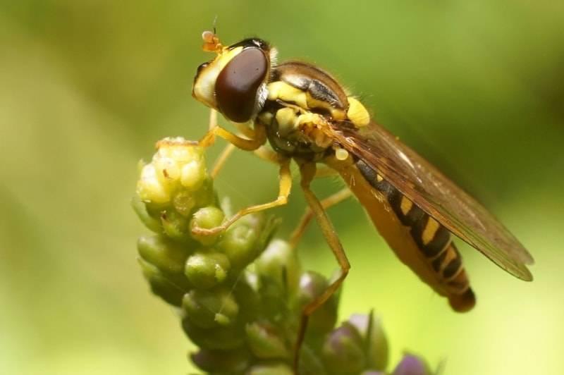 Муха журчалка – яркий пример мимикрии. полосатая муха, похожая на осу почему муха журчалка похожа на пчелу