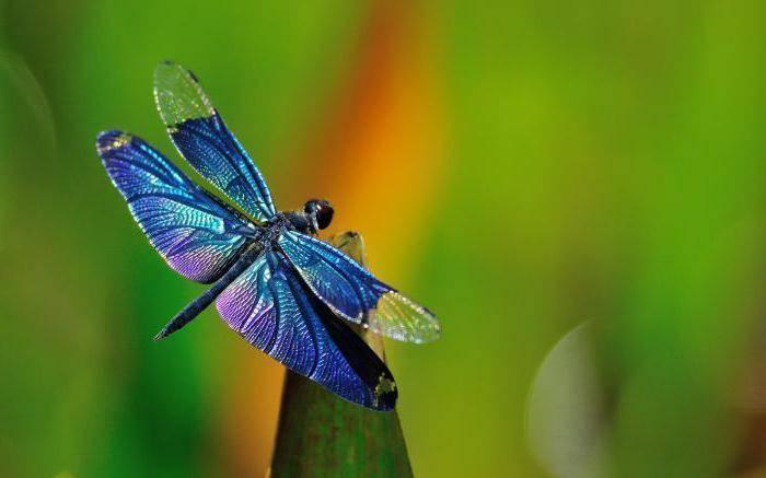 Бабочка бархатница – неприметная обитательница лугов и лесных полян