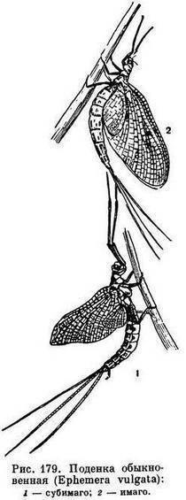 Обыкновенный муравьиный лев