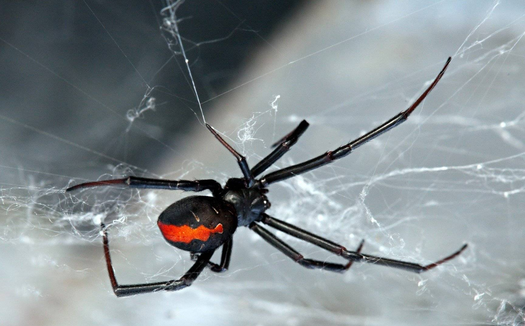 Черные вдовы – вид смертоносных пауков, широко распространенных по всему миру