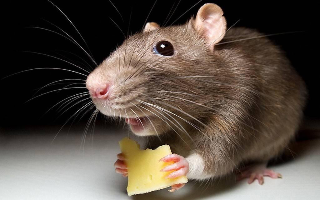 Самодельные крысоловки — домашний метод борьбы с крысами