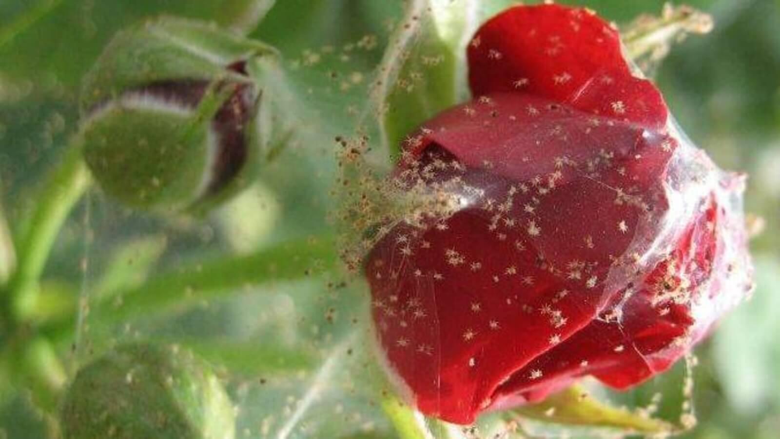 Паутина на розе: какой вредитель причастен и в чем его особенность