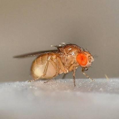 Особенности жизнедеятельности мухи дрозофилы и ее роль в науке