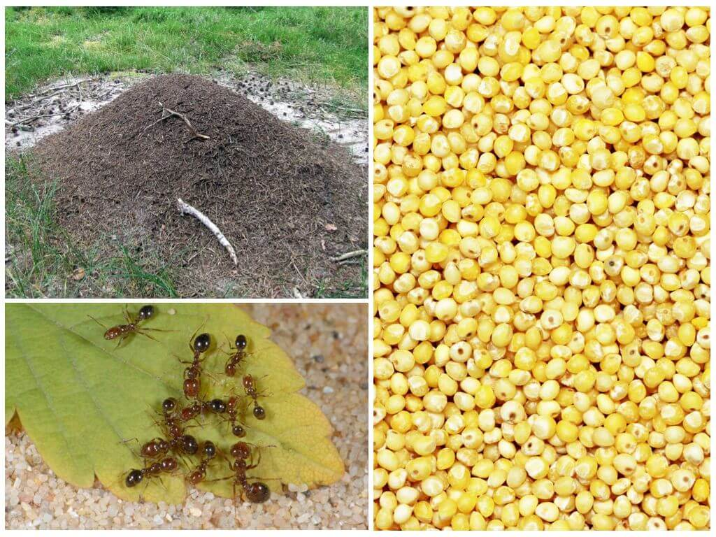 Способы применения пшена против муравьев