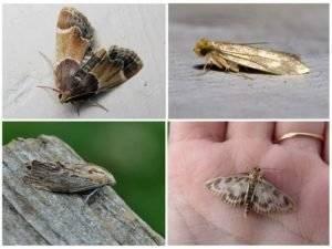 Как выглядят основные виды моли, образ их жизни и питания, размножение
