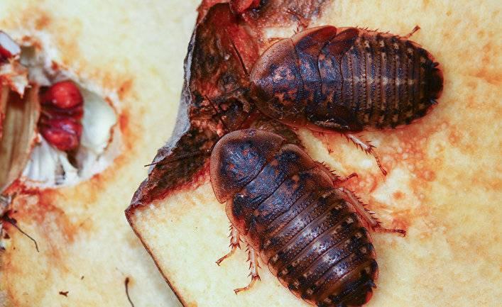 Как живут самые большие тараканы в мире