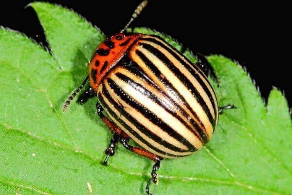 Колорадский жук: какой вред наносит насекомое из семейства жуков-листоедов