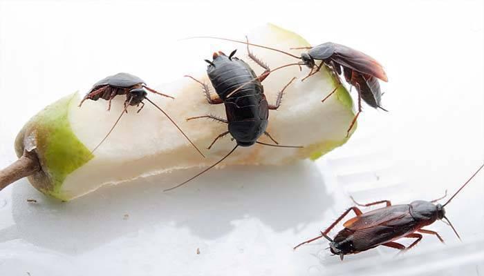 Как избавиться от тараканов в общежитии – особенности развития и эффективные методы борьбы