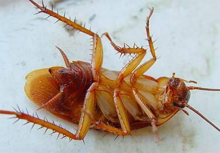 Тараканы афиша концертов. сколько живут домашние тараканы без еды и воды. к ним относятся