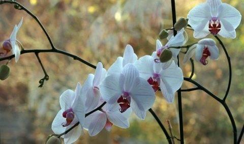 Как правильно избавиться от мошек в орхидеях