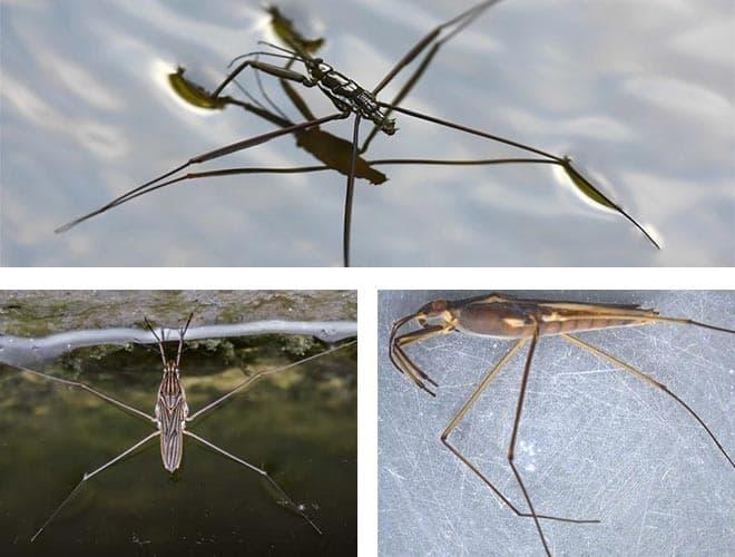 Клоп водомерка. Как выглядит насекомое, чем питаются в природе. Почему не тонет жук?