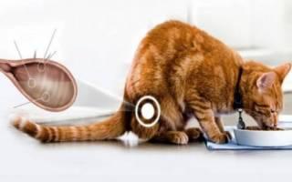 Симптомы, фото и лечение различных форм подкожного клеща у кошек
