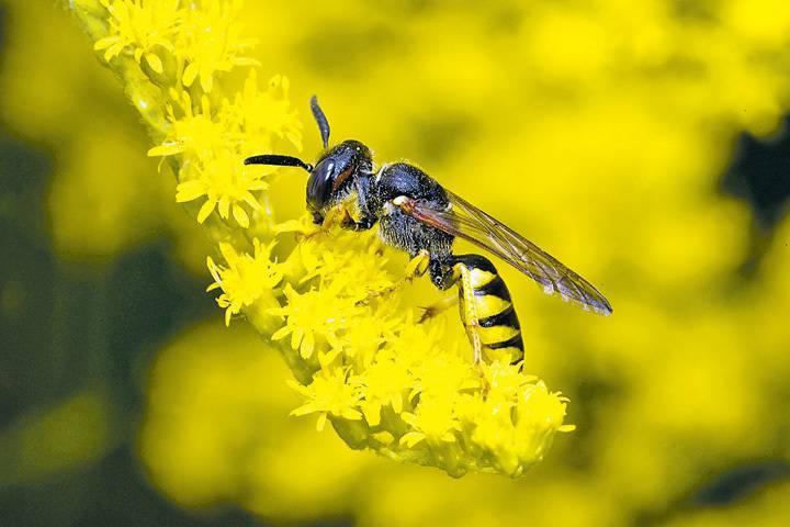 Главные признаки, как отличить осу от пчелы. виды ос – интересные представители большого семейства