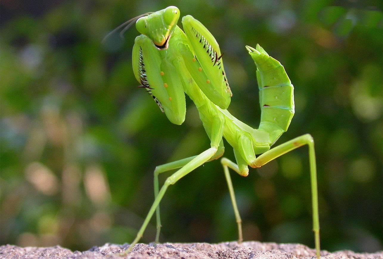 Богомолы. богомол обыкновенный как в естественной среде обитания маскируются богомолы