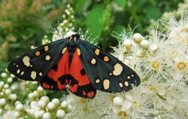 Самки бабочки медведицы сигнализируют самцам с помощью. бабочка медведица госпожа – летнее чудо у ручья