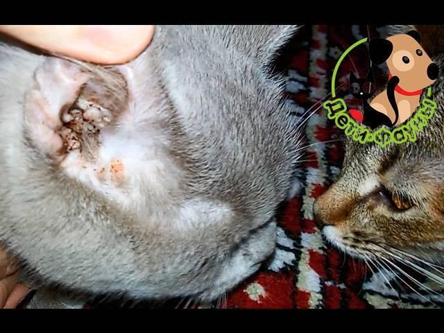 Опасны ли клещи для кошек?