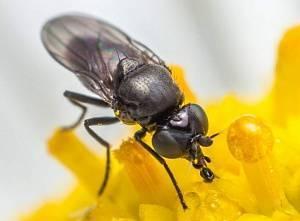 Капустная муха — методы борьбы с ней. личинки, фото мухи, и народные средства