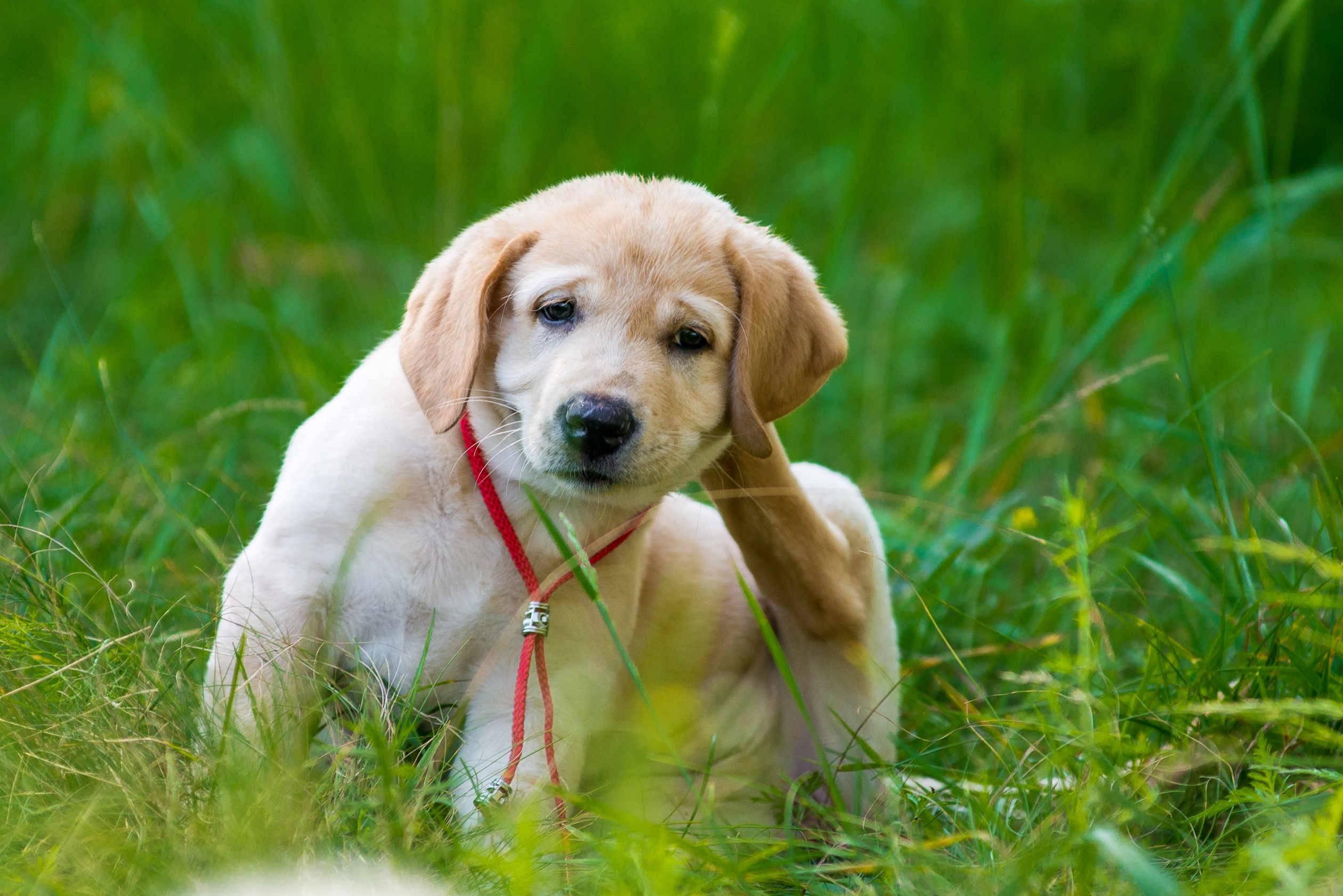 Передаются ли блохи от собаки к человеку?