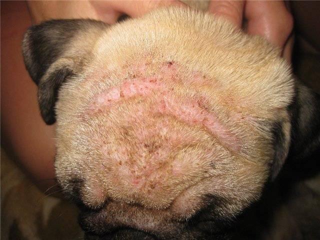 Подкожный клещ у собак: симптомы, чем и как лечить демодекоз у собак