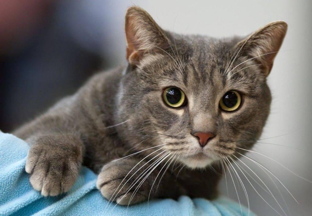 Кожный зуд у кошек при отсутствии блох