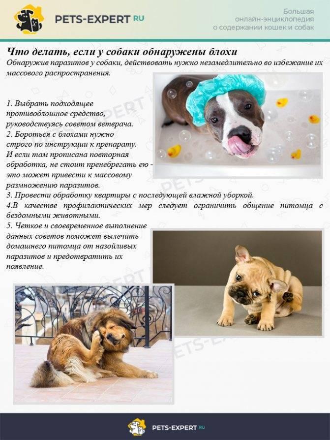 Блохи у собак: признаки, симптомы и лечение