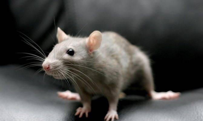 Сыррр! 9 самых знаменитых крыс имышей вкинематографе