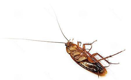 Тараканы – пища будущего?