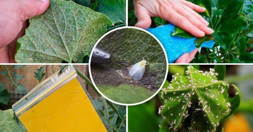 Как избавиться от белокрылки в огороде?