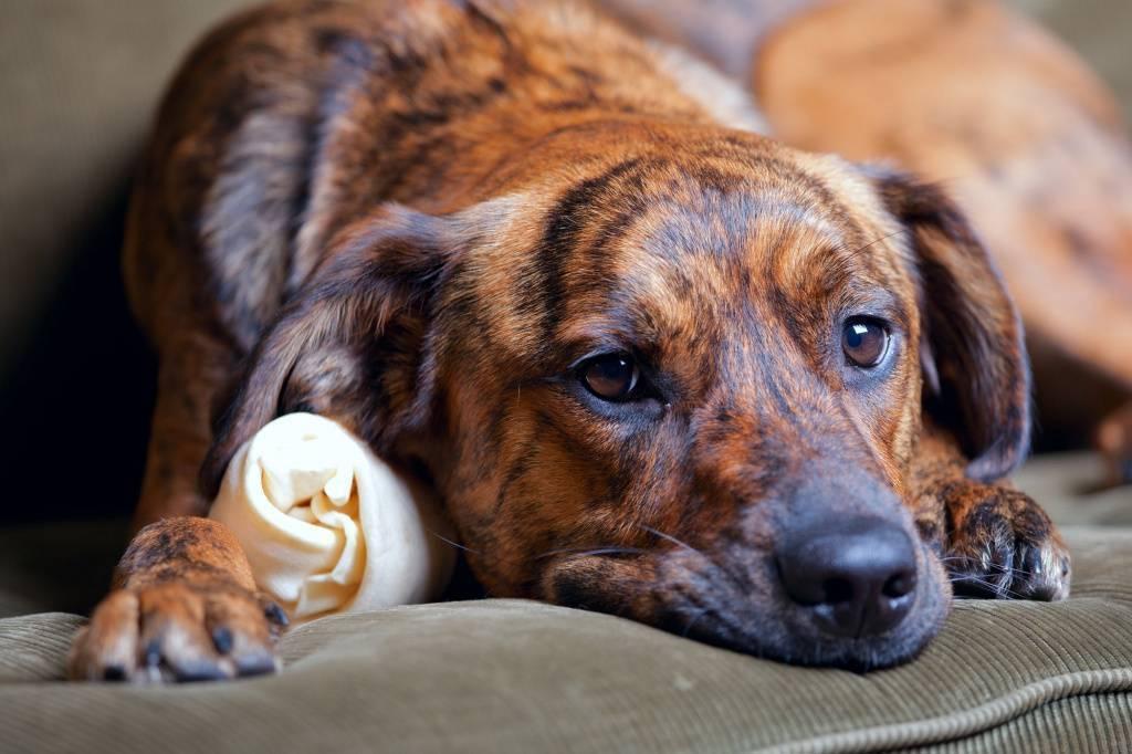Первые признаки укуса клеща у собаки: лечение и профилактика