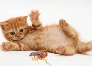 Как избавиться от блох у котенка в домашних условиях