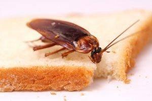 Тараканы: обзор видов, что они едят, как избавиться от тараканов — инструкция с фото!