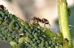 Сода как средство от муравьев