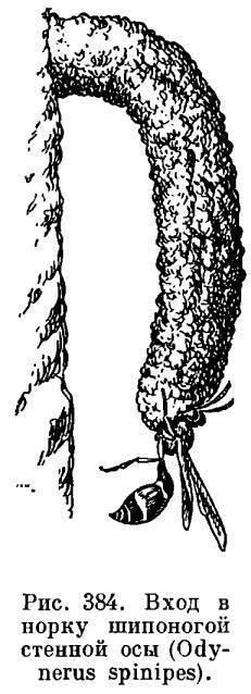 Виды ос – интересные представители большого семейства