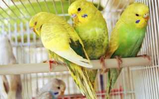 Как избавиться от блох у попугаев